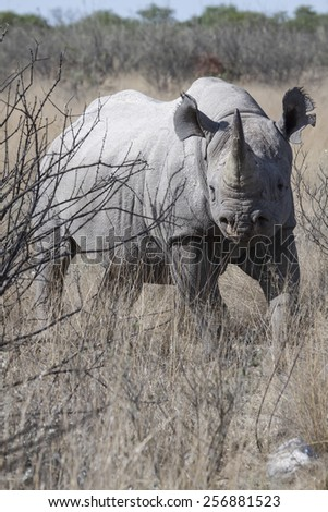 portrait of an endangered black rhino in the bush land of Namibia, Africa - stock photo