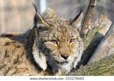 Portrait of an Eurasian lynx (Lynx lynx) - stock photo