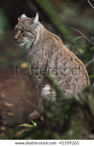 Portrait of an Eurasian Lynx (Lynx lynx) in the woods - stock photo
