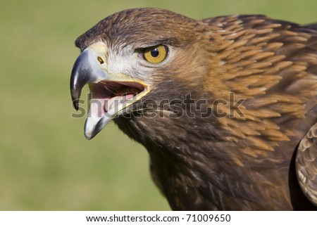 portrait of an european eagle with open beak - stock photo