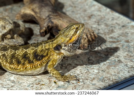 Portrait of an exotic tropical reptiles bearded dragon. Selective focus, shallow depth of field. - stock photo