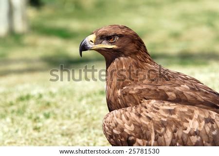Portrait of an golden eagle (Aquila chrysaetos) - stock photo