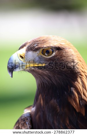 Portrait of an golden eagle staring at camera - stock photo