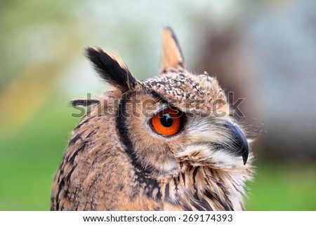 Portrait of an indian eagle-owl, also called the rock eagle-owl or Bengal eagle-owl, Bubo bengalensis, looking ahead - stock photo
