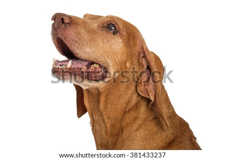 Portrait of an old Vizsla dog with an eye infection and yellow teeth - stock photo
