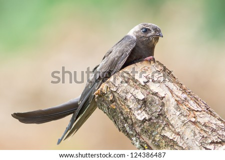 Portrait of an Young Eurasian Swift / Apus apus - stock photo