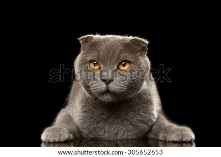 Portrait of Angry British fold Cat on Black background - stock photo