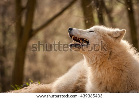 portrait of arctic wolf, who is lying and has an open mouth, a detail of beautiful white teeth - stock photo
