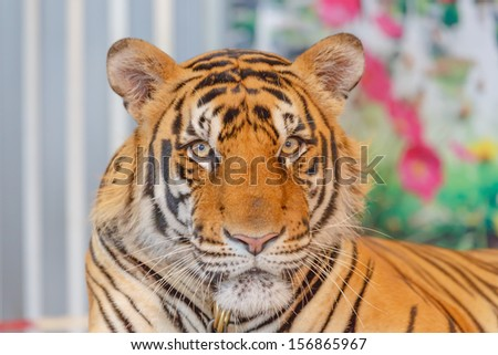 portrait of asian tigers - stock photo