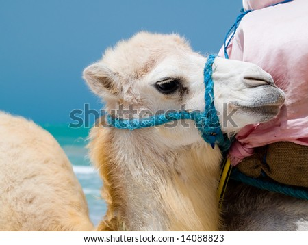 Portrait of baby camel on the beach - stock photo
