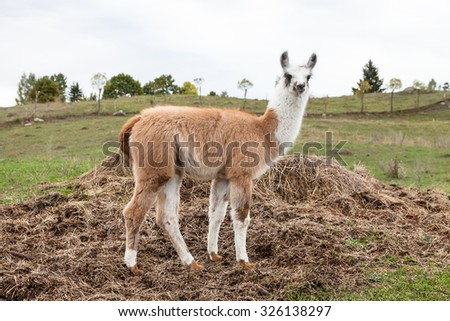 Portrait of baby llama (Lama glama) early in the morning - stock photo