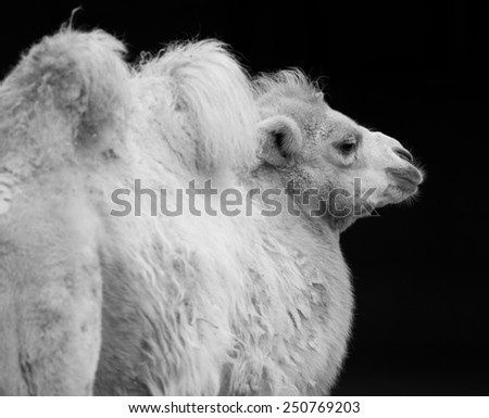 portrait of Bactrian camel (Camelus bactrianus) - stock photo