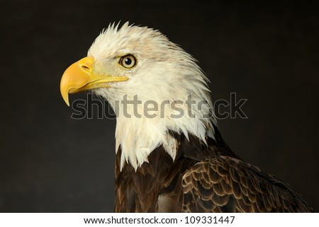 Portrait of Bald Eagle on a dark background - stock photo