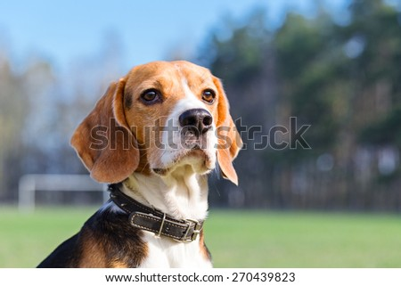 Portrait of Beagle close-up. Beagle is sitting on the football field and looks into the distance. - stock photo