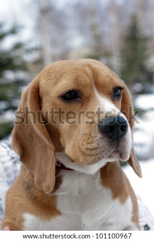 Portrait of beagle dogs in winter park - stock photo