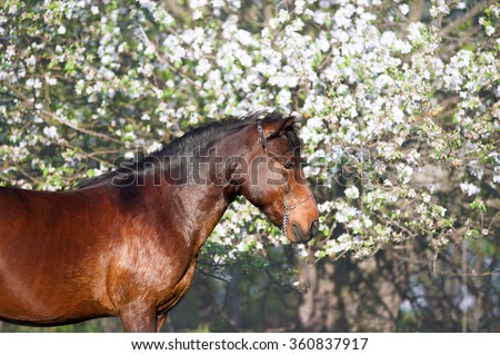 Portrait of beautiful bay horse on a background of a blossoming tree. A brown horse standing and looking into the distance in the spring garden - stock photo