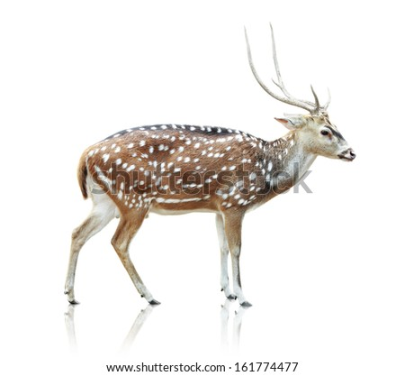 Portrait of beautiful cute spotted deer on white background - stock photo