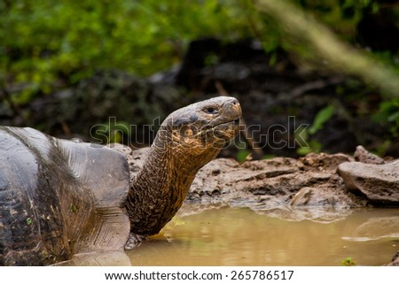 Portrait of beautiful giant tortoise native to the Galapagos Islands, Ecuador - stock photo