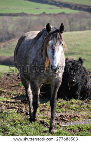 Portrait of beautiful gray shire horse in a rural field. - stock photo