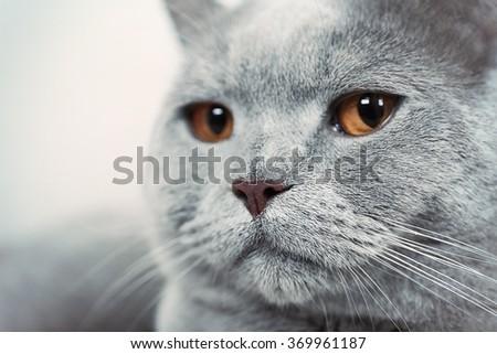 Portrait of beautiful grey cat on sofa, close up - stock photo