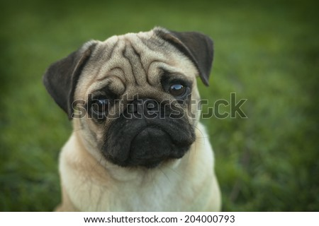 Portrait of Beautiful male Pug puppy dog siting in front of the grass background - stock photo