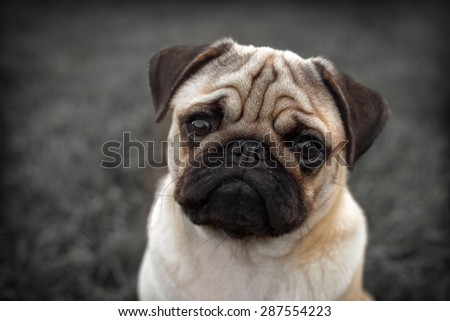 Portrait of Beautiful male Pug puppy sad dog sitting in front of the dark background - stock photo