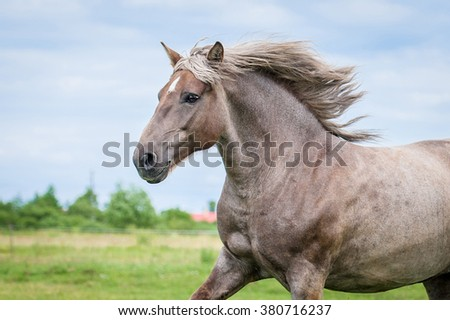 Portrait of beautiful running lithuanian heavy horse - stock photo