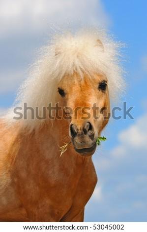 Portrait of beautiful  shetland pony - stock photo