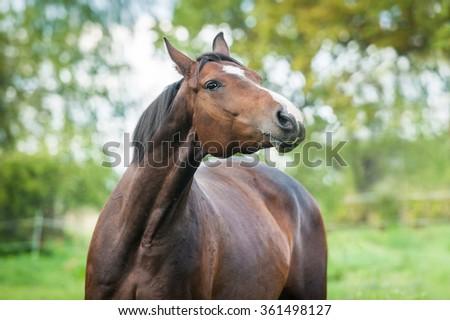 Portrait of beautiful warmblood horse  - stock photo