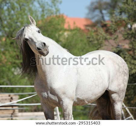 Portrait of beautiful white andalusian stallion in spring - stock photo