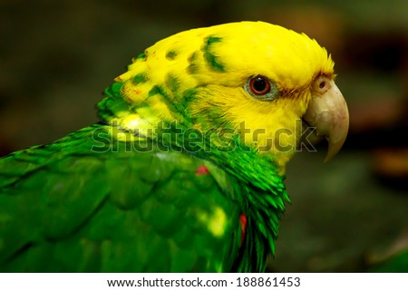 Portrait of beautiful Yellow-headed Amazon Parrot in Mexico - stock photo