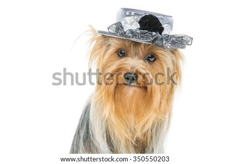 Portrait of beautiful yorkshire terrier dog in fancy grey hat. Isolated over white background. Copy space. - stock photo