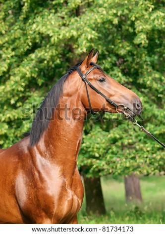 portrait of beautiful young bay stallion - stock photo