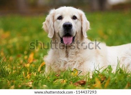 Portrait of beauty golden retriever - stock photo