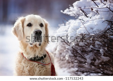 Portrait of Beauty Golden Retriever Dog - stock photo