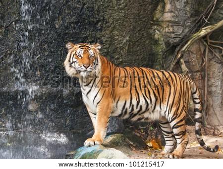 Portrait of Bengal tiger - stock photo