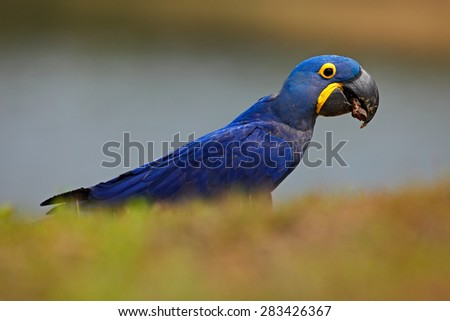 Portrait of big blue parrot Hyacinth Macaw, Anodorhynchus hyacinthinus, Pantanal, Brazil, South America - stock photo