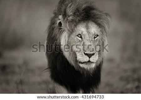 Portrait of big Lion Notch II in Masai Mara, Kenya - stock photo