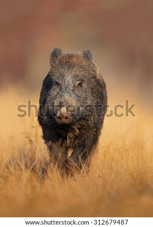 Portrait of big Wild boar, Sus scrofa, running in the grass meadow, red autumn forest in background - stock photo