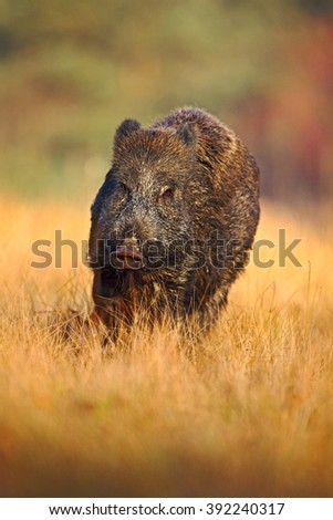 Portrait of big Wild boar, Sus scrofa, running in the grass meadow, red autumn forest in background, action scene in the forest grass meadow, Czech republic - stock photo