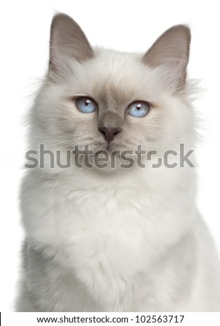 Portrait of Birman cat, 5 months old, in front of white background - stock photo