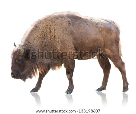 Portrait Of Bison Isolated On White Background - stock photo
