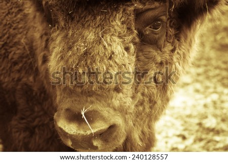 Portrait of bison. Sharpness on eyes. tinted - stock photo