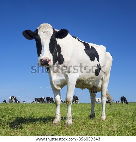 Portrait of black and white cow with blue sky - stock photo