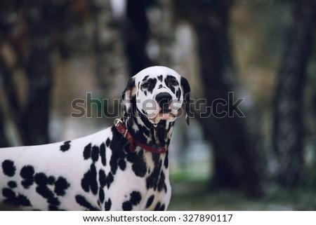 Portrait of black and white dalmatian dog breeding on a background - stock photo