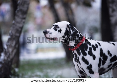 Portrait of black and white dalmatian dog breeding on a background of the first snow - stock photo