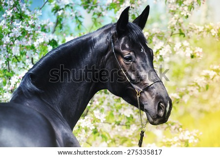 Portrait of black horse in spring garden with blossoming apple trees - stock photo