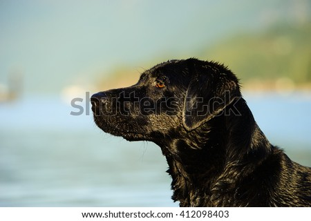 Portrait of Black Labrador Retriever dog against water and hills - stock photo