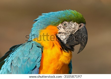 Portrait of blue-and-yellow macaw, Ara ararauna, also known as the blue-and-gold macaw, is a large South American parrot with blue top parts and yellow under parts - stock photo