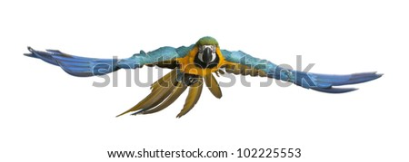 Portrait of Blue and Yellow Macaw, Ara Ararauna, flying in front of white background - stock photo